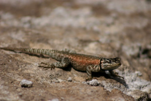 The desert just isn't the desert without some cute, heat loving lizards! ;-)