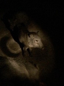 A Peccary at night, courtesy of MorgueFile.com. I love you Morgue File photographers!!!