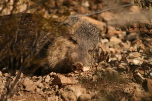 Here is a cute photo of a Javelina. Also known as a Peccary or Skunk Pig.